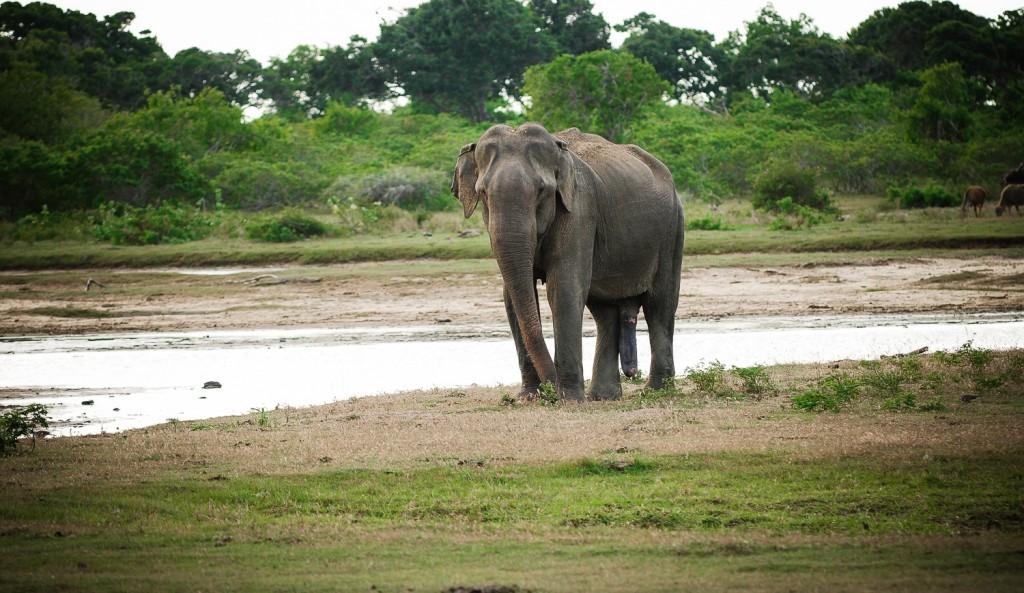 Elephas Maximus oder auch Asiatischer Elefant am Wasserloch