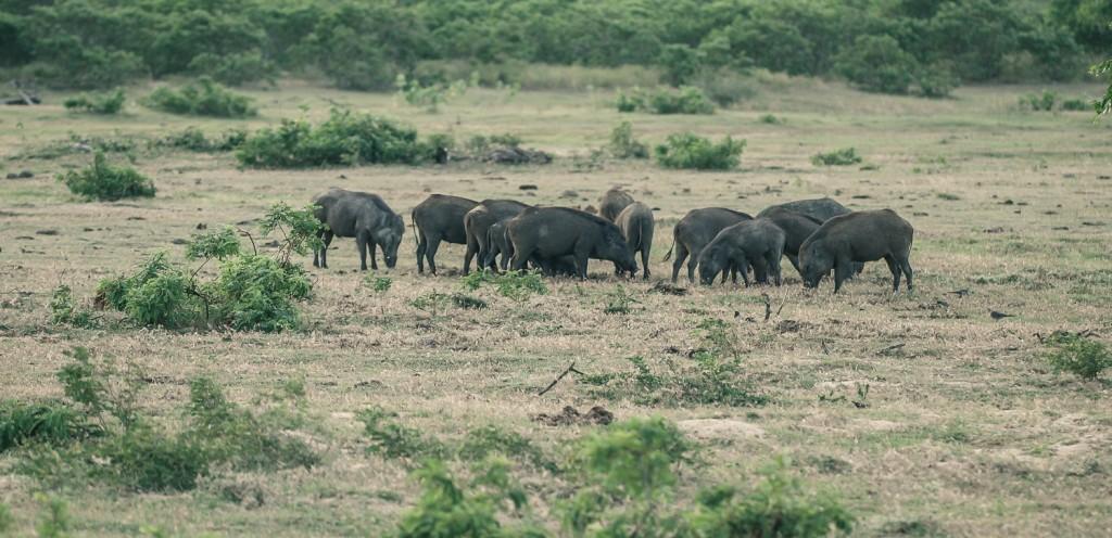 Einer Rotte indische Wildschweine in der Steppe