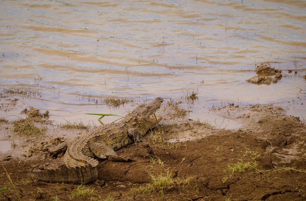 Crocodylus palustris oder auch Sumpfkrokodil (verdammt hungrig)
