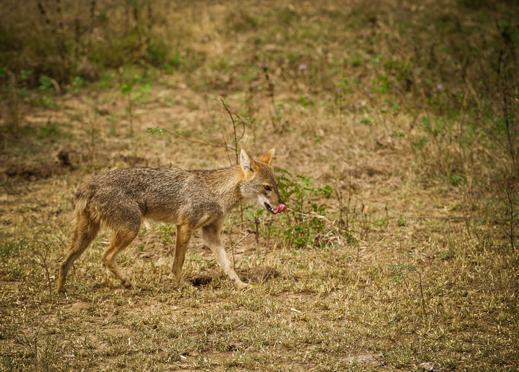 Canis latrans ist ein Präriewolf oder auch Kojote genannt
