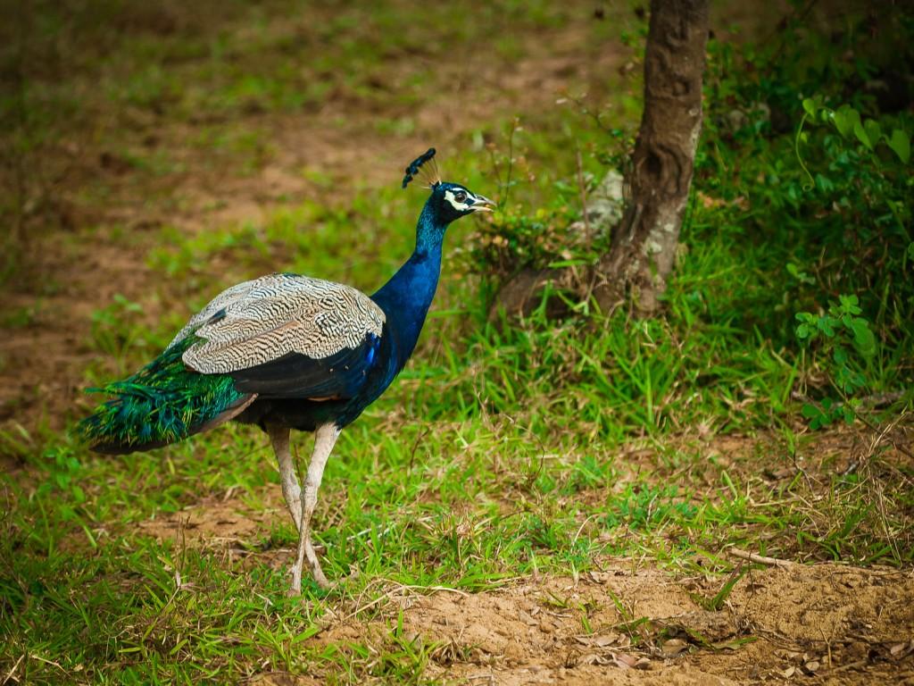 Blauer Pfau (Pavo cristatus)