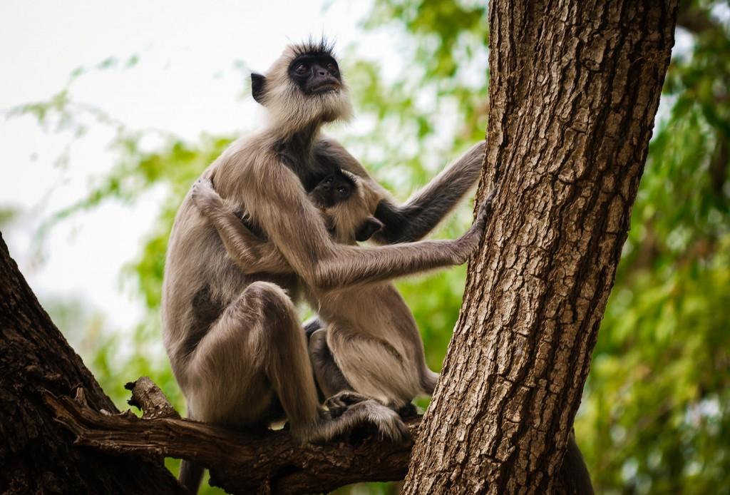 Davon gab es auch einige zu sehen: Hanuman-Langur (Presbytis entellus)