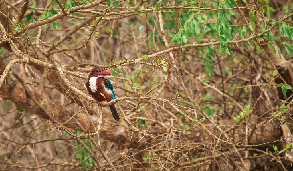 ...ein Eisvogel oder auch Alcedo atthis bengalensis (Asien)