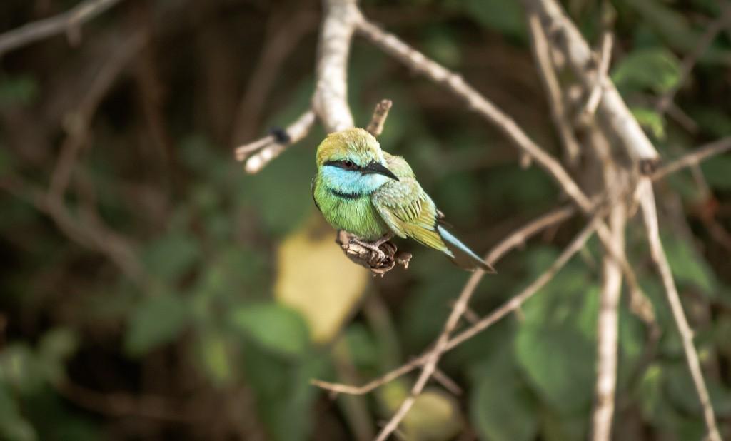 ...Merops apiaster
