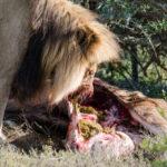 lion-addo-10