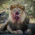 lion-addo-13