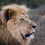 lion-addo-23