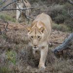lion-addo-26