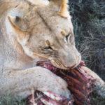 lion-addo-5